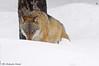 Lupo _011 (Rolando CRINITI) Tags: lupo neve germania canislupus bayerischerwaldnationalpark wolf mammiferi libertàcontrollata