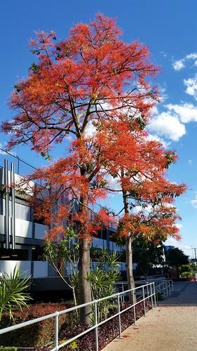 Flame tree  (Brachychiton acerifolius)