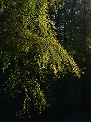 Herbstspaziergang; Aschberg, Naturpark Hüttener Berge (10) (Chironius) Tags: hüttenerberge ascheffel naturpark schleswigholstein deutschland germany allemagne alemania germania германия niemcy rosids fabids buchenartige fagales buchengewächse fagaceae fagoideae buchen baum bäume tree trees arbre дерево árbol arbres деревья árboles albero rotbuche faia kayın beuken бук bok árvore ağaç boom träd fagus herbst herfst autumn autunno efteråret otoño höst jesień осень laub wald forest forêt лес bosque skov las