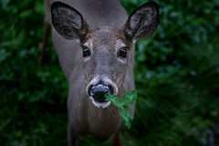 Do I have something in my teeth? (Jenna.Lynn.Photography) Tags: beautiful beauty doe deer munch munching eating clover nose eyes ears wildlife wildlifephotography nature outdoors country rural green fall autumn dew melting raindrops frost frosty flora november blur dark texture eos canon brown wild field pretty dof candid canon70200f28lll canon5dmarkiii cute animal grass october old wisconsin