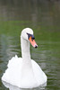 Mute Swan (Cygnus olor) (LauriusV) Tags: englishmuteswan familyanatidae genuscygnus lithuaniangulbėnebylė orderanseriformes speciescygnusolor chiyodaku tōkyōto japan jp