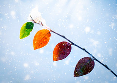 Changing Colours (ChicqueeCat) Tags: nature leaves winter autumn snow sunlight weather nikon d3300