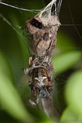 Labyrinth Orbweaver (Matt Claghorn) Tags: metepeiralabyrinthia orbweaver spider ohiospiders tokina100mmf28 nikond50