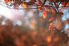 ILCE-7M2-05274-20171212-1553 // Nikon Nikkor 105mm 1:1.8 AI-S (Otattemita) Tags: 105mmf18 aislens florafauna nikkor nikon nikonnikkor105mmf18ais nipponkogaku fauna flora flower nature plant wildlife nikonnikkor105mm118ais sony sonyilce7m2 ilce7m2 105mm cnaturalbnatural ota