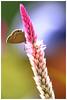 藍咖灰蝶   Catochrysops panormus (Alice 2017) Tags: 2017 hongkong bokeh green butterfly canon canoneos7d eos7d nature canonef70200mmf4lisusm plant autumn pink flower insect autofocus