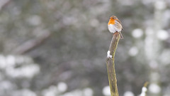 Searching for colors (Wim Boon (wimzilver)) Tags: wimboon winter snow sneeuw color robin roodborstje roodborstjeindesneeuw rood canon canon7d canonef400mmf56lusm
