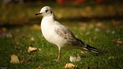 Seagul - 4057 (YᗩSᗰIᘉᗴ HᗴᘉS +9 500 000 thx❀) Tags: seagul mouette oiseau bird nature bruges flandres aa belgium hensyasmine yasminehens 7dwf