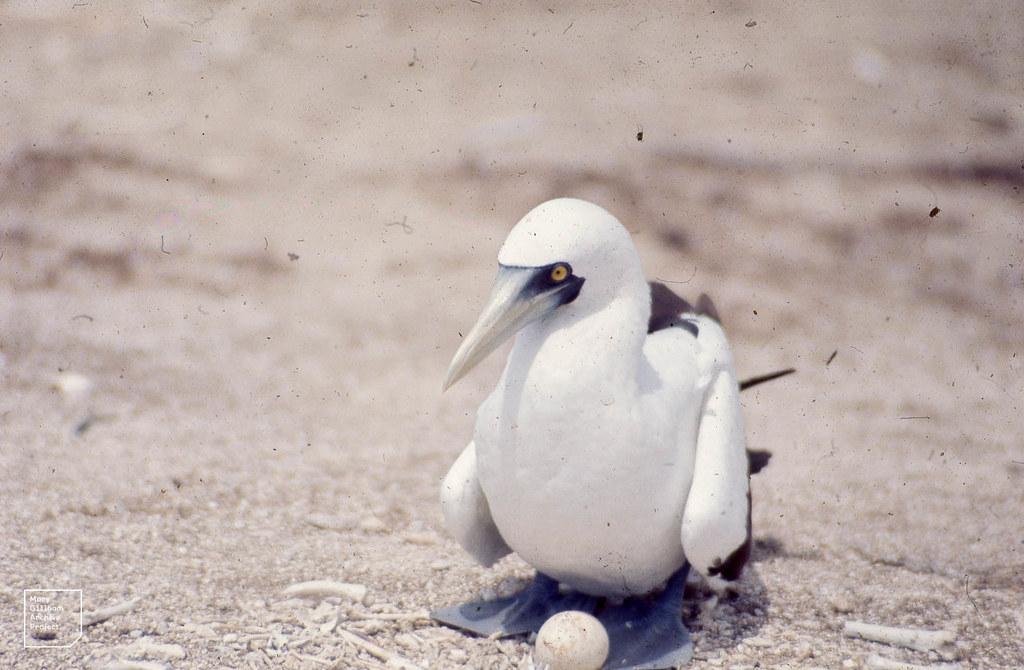 Blue-faced or masked booby on egg. Latham Island.