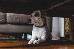 gimme shelter   l   2017 (weddelbrooklyn) Tags: dog dogs home inside rest looking wanttogetout observe watching observing pet pets animal animals nikon d5200 35mm
