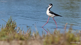 Black-necked Stilt, Goleta, CA CQ4A9478