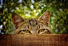 Cat Hiding in a Box (Barry O Carroll Photography) Tags: cat tabby feline kitty hiding box wooden pet domestic animal cute portrait chat tigré france lagrauliere correze