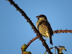 House Sparrow watching the sunset (sam2cents) Tags: passerdomesticus nature wildlife wicklow ireland ornithology bramble autumn fall thorns sunset hedgerow