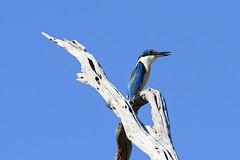 Breaking News 2 (audiodam) Tags: kingfisher australianbirds australianwildlife