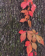 Falling (whatsayjk) Tags: vine red leaves bark texture detail iphone park downtown nashville moss orange color fall autumn minimalism minimal outdoor