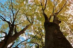 fall trees (namhdyk) Tags: tree trees autumn autumnalleaves fall canon canonpowershot canonpowershotg7x