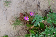 LHID 205 (newnumenor) Tags: australia lordhoweisland nsw flowers