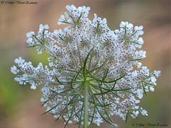 image6476kk (Céline Bizot-Zanatta) Tags: macro fleur carotte sauvage blanc journée extérieur détails