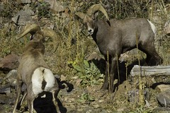 Challenge Accepted (GalaxyFan (Bighorn Photography)) Tags: oviscanadensiscolorado bighornsheep bighornsheeprut bighorn bighornram ram colorado coloradowildlife coloradophotography coloradowildlifephotography littleton littletoncolorado watertoncanyon watertoncanyontrail watertoncanyonwildlife canon7d canon100400mmf4556isl canoncamera canonlenses canonusa canongallery canonextreme awesomeshot anawesomeshot wildanimal battlingrams
