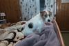 Sara. When people have left the bed :). 46/52 (Tõnno Paju) Tags: sara 52weeksfordogs dog pet animal bed sleepingroom tamron nikon jack russel terrier