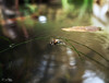 Struggling (ZY Yao) Tags: water falling struggle struggling bee insect pool pond honeybee