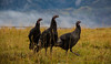 Happy Thanksgiving! (Nancy King Photography) Tags: colorado wildturkeys wildlife fall keblerpass birds