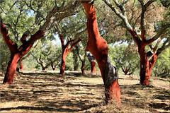 sobreiros (Bernergieu) Tags: portugal évora alcornoques korkeiche alcornoque quercussuber sobreiro nature natur forest wald trees red rot inexplore