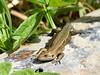 Soaking up the sun. (pstone646) Tags: lizard reptile animal wildlife nature fauna sunshine basking ashford kent closeup