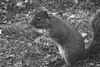 Enjoying a Treat (Tammy Strot) Tags: squirrel blakandwhite blackwhite stark animal outdoor nature nut treat hazelnut