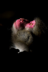 Sun Bathing (Masashi Mochida) Tags: awaji awajimonkeycenter wildlife animal nature japan monkey sunbathing