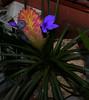 Tillandsia Unknown [poe] flower #5 10-17 (nolehace) Tags: tillandsia unknown poe flower 5 1017 sanfrancisco fz1000 nolehace