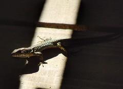 Light Lizard (sander_sloots) Tags: lizard sunlight réserve ornithologique du teich france reptile hagedis reptiel zonlicht animal