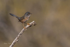 Dartford warbler (Sylvia undata) (dave_poth) Tags: