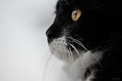 Jake (R.I.P.) (Nils Hempel | Photography) Tags: cat katze pet haustier face gatto eye closeup animal tier orange black white