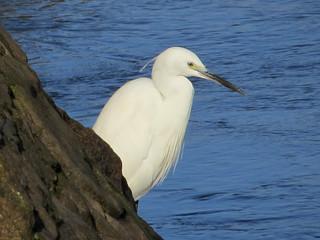 Egretta garzetta Little Egret