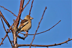 Hawfinch   ( Coccothraustes coccothraustes ) (GrahamParryWildlife) Tags: mk2 7d sport 150600 sigma grahamparrywildlife uk kent rspb animal outdoor viewing photo flickr add new sunlight depth field plumage bird up male blue plant sky dof kentwildlife sissinghurst hawfinch coccothraustes rare elusive decline