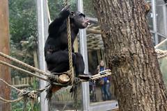 Schimpansenbaby (Michael Döring) Tags: gelsenkirchen bismarck zoomerlebniswelt zoo schimpanse chimpanzee schimpansenbaby afs2470 d800 michaeldöring