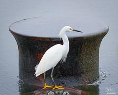 Industrial Snowy Egret