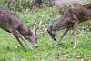 Buck Showdown (ap0013) Tags: whitetail deer buck antlers wildlife fight loneelkpark missouri mo nature animal animals whitetaildeer bucks