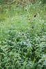 CKuchem-6727 (christine_kuchem) Tags: ackerblumen ackerrand agrarlandschaft bach bienenweide blumen blumenwiese blühstreifen blüten feldblumen felder landwirtschaft schmetterlingsblütler uferpflanzen wiese wiesenblume wildblumen naturnah natürlich rot