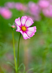 Cosmos (mclcbooks) Tags: flower floral macro closeup cosmos denverbotanicgardens colorado summer