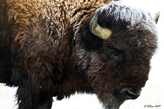 IMG_3387 bison (starc283) Tags: starc283 nature naturesfinest flickr flicker wildlife canon canon7d outdoors outdoor prairie