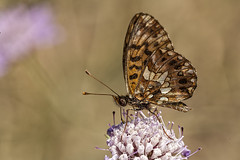 Boloria dia (Jaume Bobet) Tags: boloria dia lepidoptera nymphalidae mariposa insecto macro bobet canon sigma