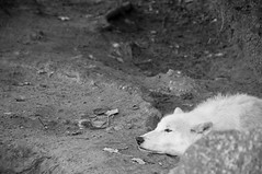 One moment i was in wilderness and then... (Mika Hiironniemi) Tags: berlin blackandwhite monochrome city zoo irony mood moody