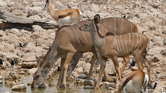 Kudu Mutter mit Nachwuchs (marionkaminski) Tags: namibia afrika africa etoshanationalpark nationalpark etosha wasserloch waterhole animal animali dieren panasonic lumixfz1000