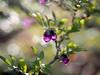 berries (janicelemon793) Tags: bush berries macro closeup garden translucent bokeh purple