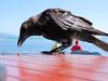 Ma copine la Corneille (jean-daniel david) Tags: oiseau corneille corvidé nature lac lacdeneuchâtel table noir