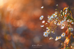 Daisies from november | Thank you all! (Pásztor András) Tags: nature white flower autumn forest sunlight sun sunset bokeh dof blur background mártély dslr nikon d700 sigma 70300mm hungary andras pasztor photography 2017