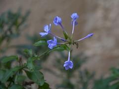 L'ultimo fiore - November last flower (giorgiorodano46) Tags: novembre2017 november 2017 giorgiorodano basilicata lucania italy nikon bokeh flower plumbago matera
