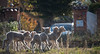 _MG_8947 (aochlesia13) Tags: canon sigma eos80d agneaux animaux troupeau bokeh 55250