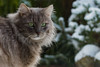 Ice Age - The new episodes (FocusPocus Photography) Tags: fynn fynnegan katze kater cat chat gato tier animal haustier pet schnee snow winter kalt cold